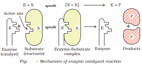 Mechanism of enzyme catalysed reaction