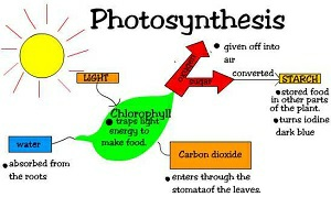 Photosynthesis in plants