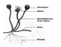 SPORE FORMATION